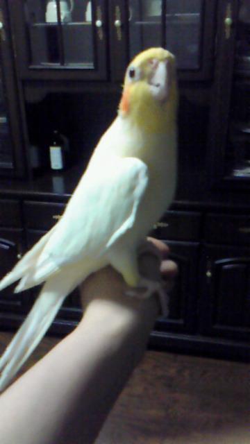 我が家の愛鳥。